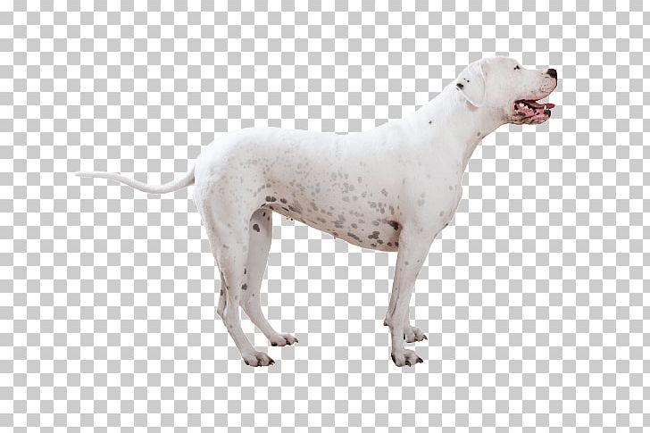Dogo Argentino Cordoba Fighting Dog American Bulldog Bully