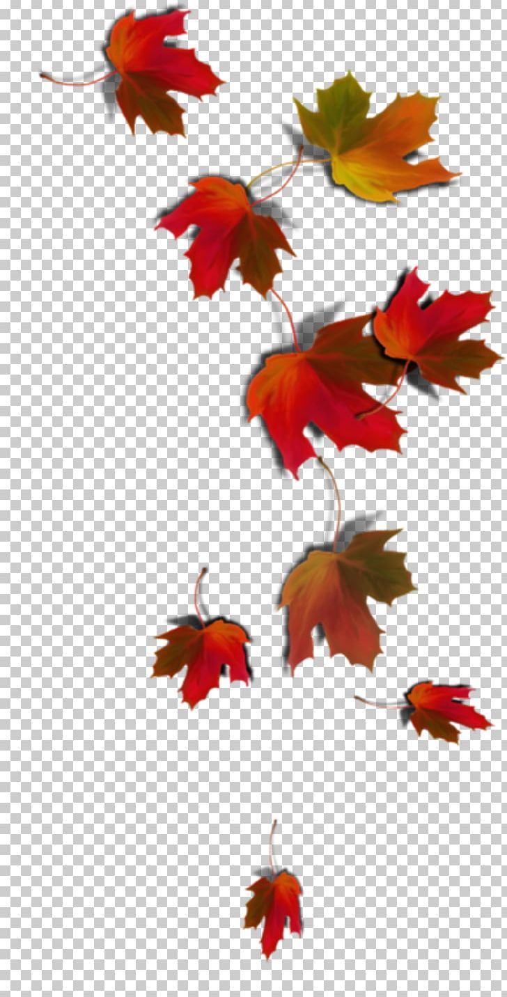 Maple Leaf Autumn Leaf Color PNG, Clipart, Autumn, Autumn Leaf Color, Color, Flower, Flowering Plant Free PNG Download