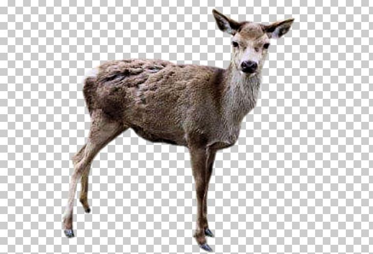 Reindeer Elk PNG, Clipart,  Free PNG Download