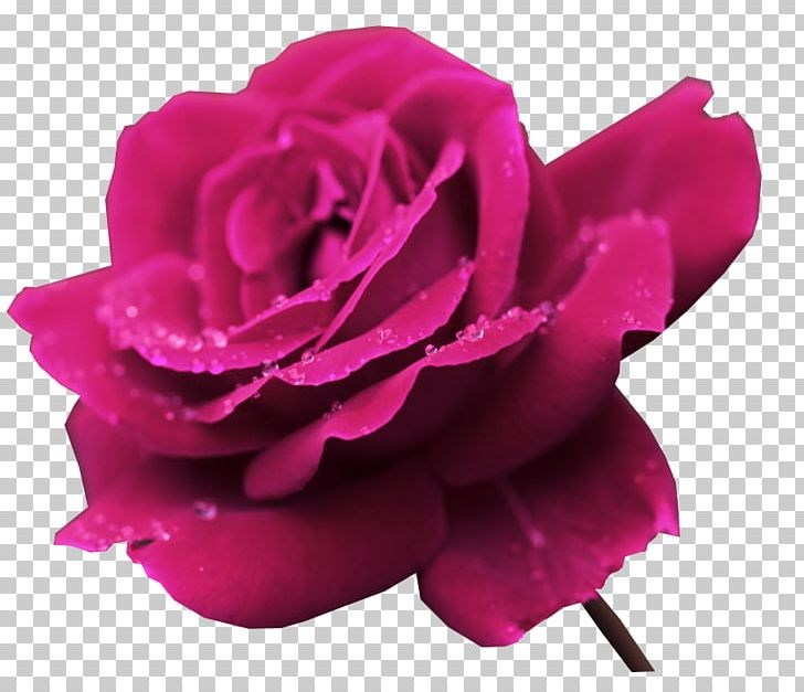 High Resolution Rose Flower Images Flowers Healthy