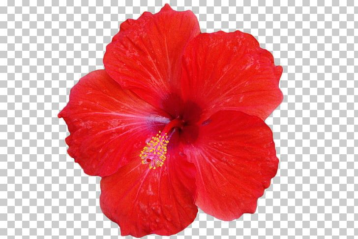 Roselle Hibiscus Tea Flower Common Hibiscus Png Clipart China Rose
