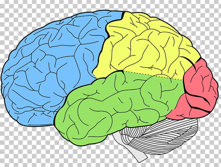 Lobes Of The Brain Temporal Lobe Frontal Lobe Human Brain PNG, Clipart, Anatomy, Area, Brain, Brain Mapping, Cerebrum Free PNG Download