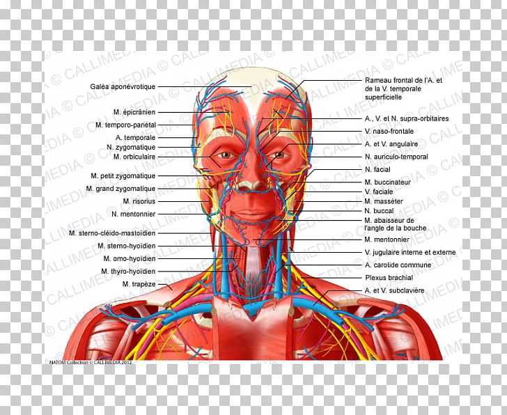 Head And Neck Anatomy Anterior Triangle Of The Neck Muscle Human Body PNG, Clipart, Anterior Triangle Of The Neck, Appareil Digestif, Blood Vessel, Facial Muscles, Facial Nerve Free PNG Download