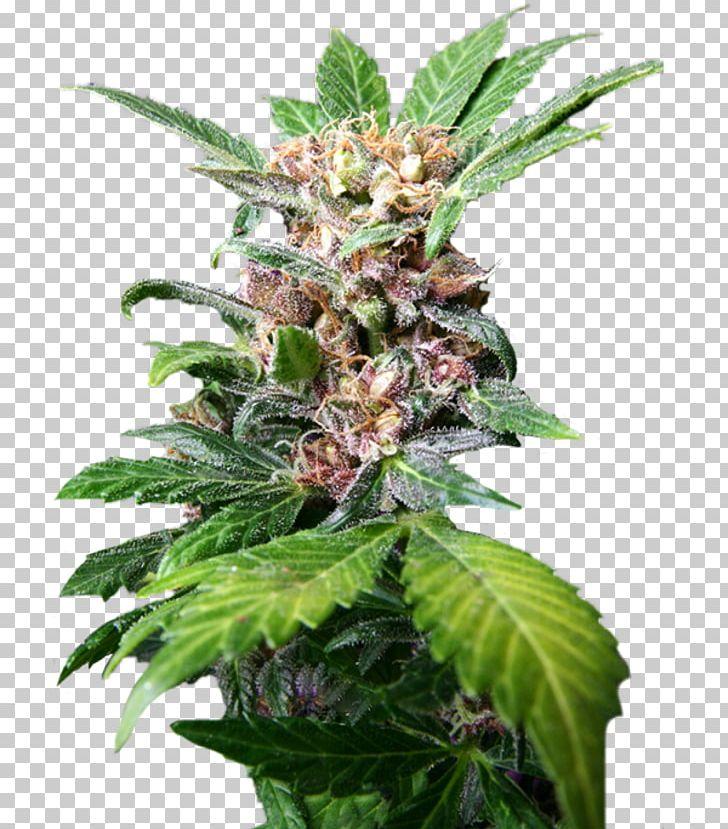 Autoflowering Cannabis Medical Cannabis Kush Tetrahydrocannabinol PNG, Clipart,  Free PNG Download
