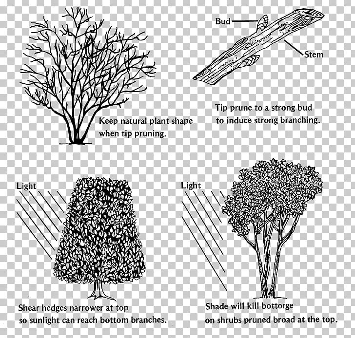 Branch Pruning Shrub Hedge Tree Png Clipart Abelia Angle Black