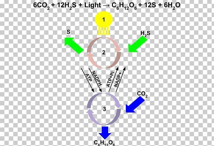 Chlorobium Anoxygenic Photosynthesis Purple Sulfur Bacteria Aerobic Anoxygenic Phototrophic Bacteria PNG, Clipart, Angle, Anoxygenic Photosynthesis, Area, Circle, Cyanobacteria Free PNG Download
