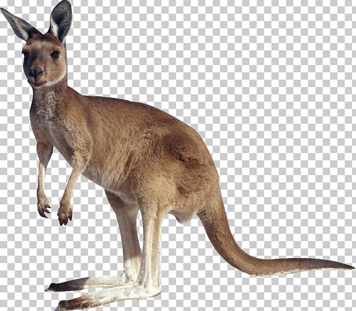 Kangaroo PNG, Clipart, Animals, Download, Encapsulated Postscript, Fauna, Free Free PNG Download