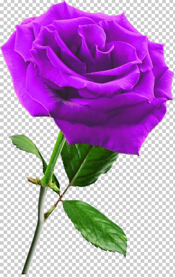 - Rose Flower PNG, Clipart, Annual Plant, Color, Cut Flowers