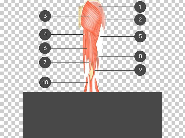 gluteal muscles gluteus medius gluteus maximus gluteus minimus png,  clipart, adductor longus muscle, angle, biceps,