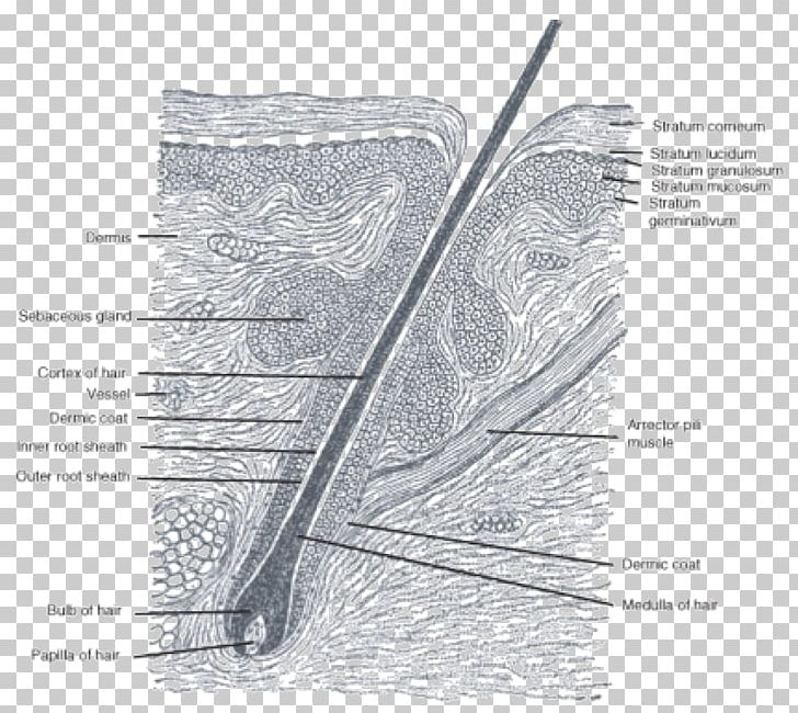 hair follicle anatomy sebaceous gland matrix png, clipart, anatomy, angle,  black and white, connective tissue, diagram
