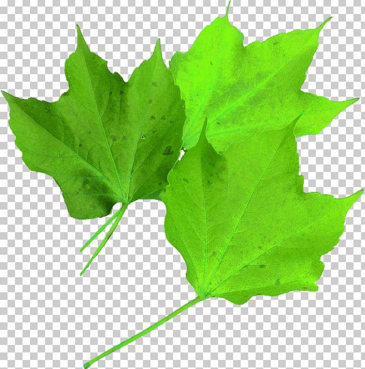 Maple Leaf Autumn Leaf Color PNG, Clipart, Akcaagac, Autumn, Autumn Leaf Color, Color, Green Free PNG Download