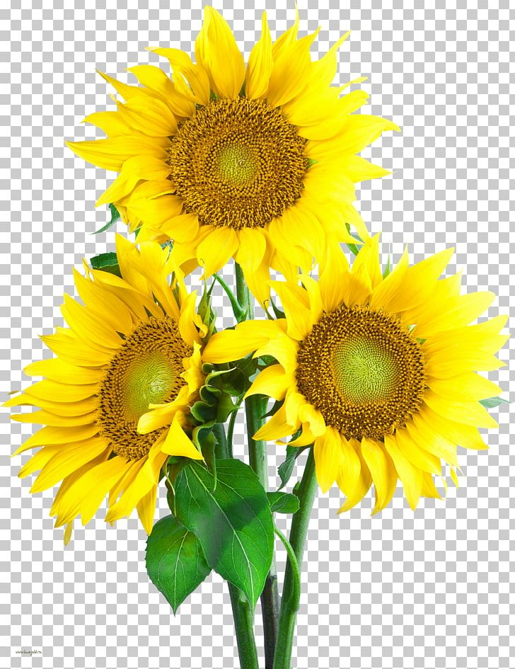Portable Network Graphics Common Sunflower PNG, Clipart, Annual Plant, Common Sunflower, Computer Icons, Cut Flowers, Daisy Family Free PNG Download