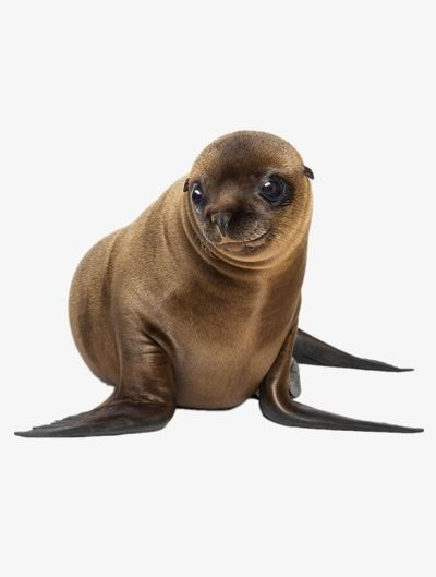 Lion real. Lovely sea lions png