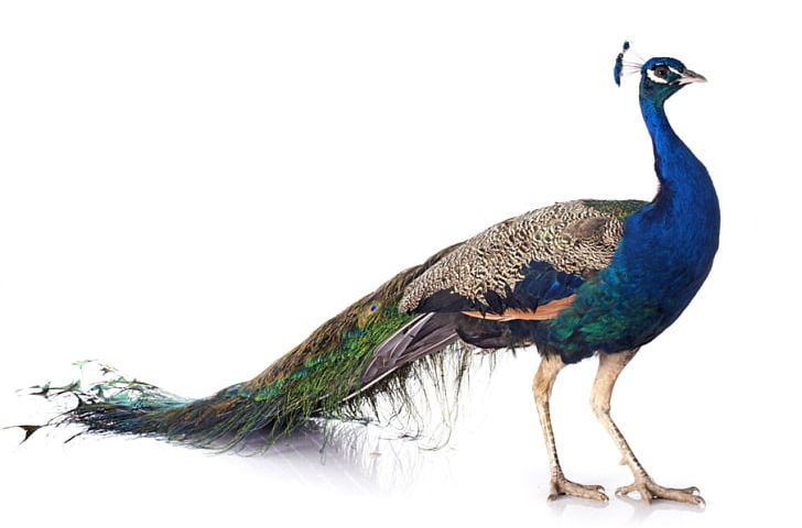 Bird Asiatic Peafowl Female Stock Photography PNG, Clipart, Animals, Asiatic, Asiatic Peafowl, Beak, Bird Free PNG Download