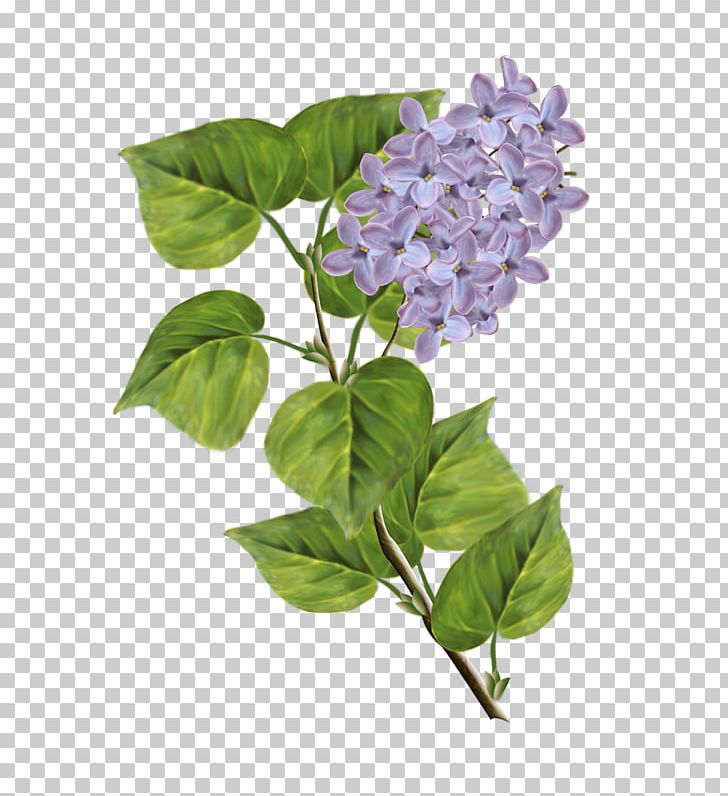 Lilac PNG, Clipart, Branch, Computer Software, Cornales, Download, Drawing Free PNG Download