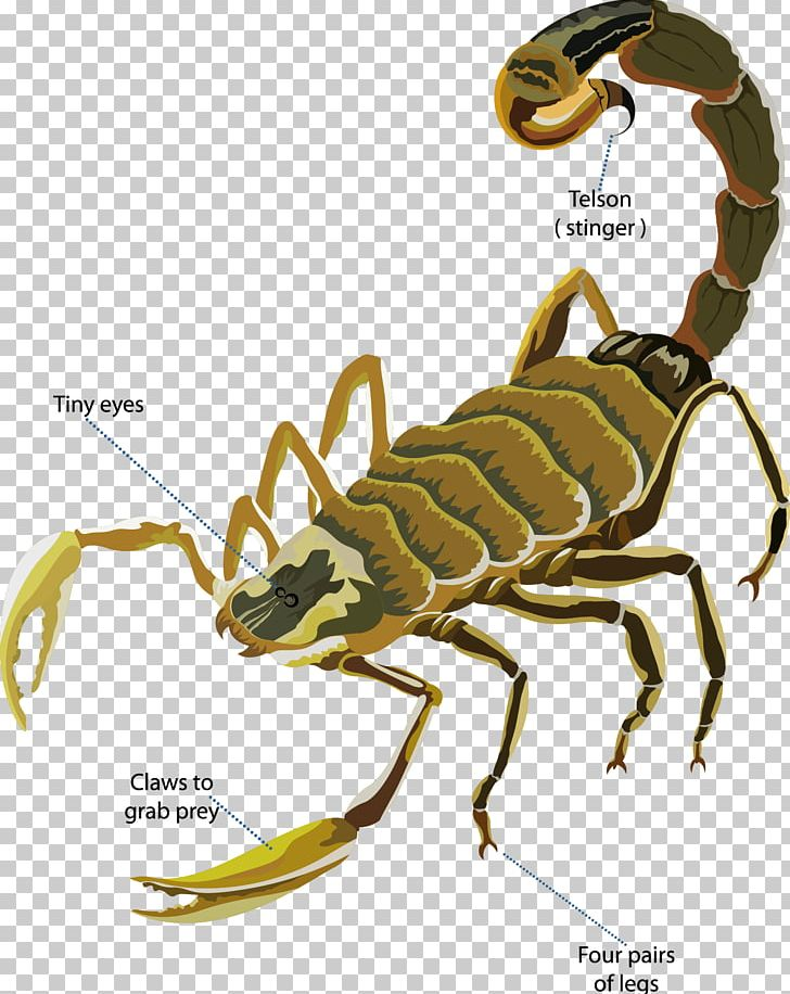 Scorpion Deathstalker Euclidean PNG, Clipart, Arizona Bark