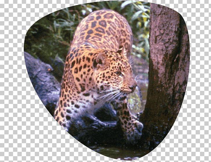 Leopard Great Cats World Park Jaguar Cheetah Whiskers Png Clipart Animal Big Cat Big Cats Carnivoran