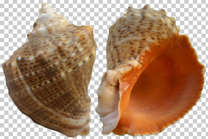Seashell PNG, Clipart, Animal Product, Animation, Beach, Clams Oysters Mussels And Scallops, Clip Art Free PNG Download