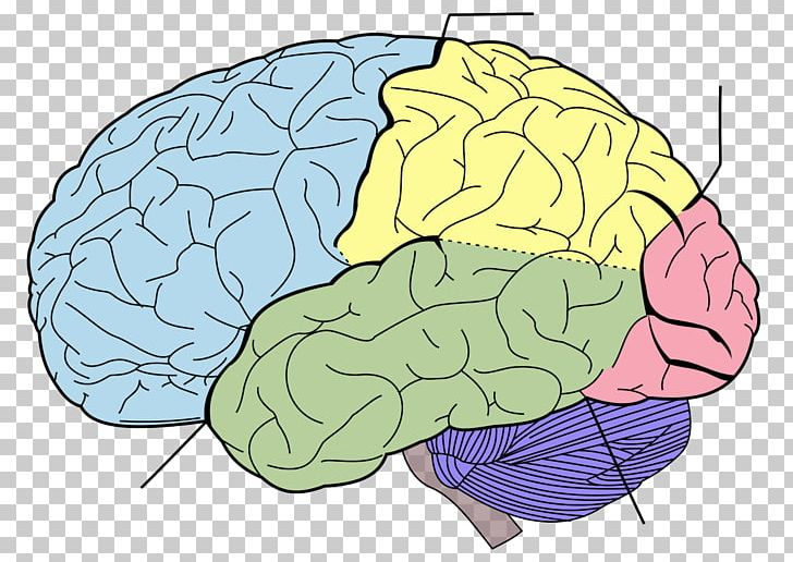 Lobes Of The Brain Frontal Lobe Parietal Lobe Temporal Lobe PNG, Clipart, Anatomy, Area, Brain, Cerebral Cortex, Cerebral Hemisphere Free PNG Download