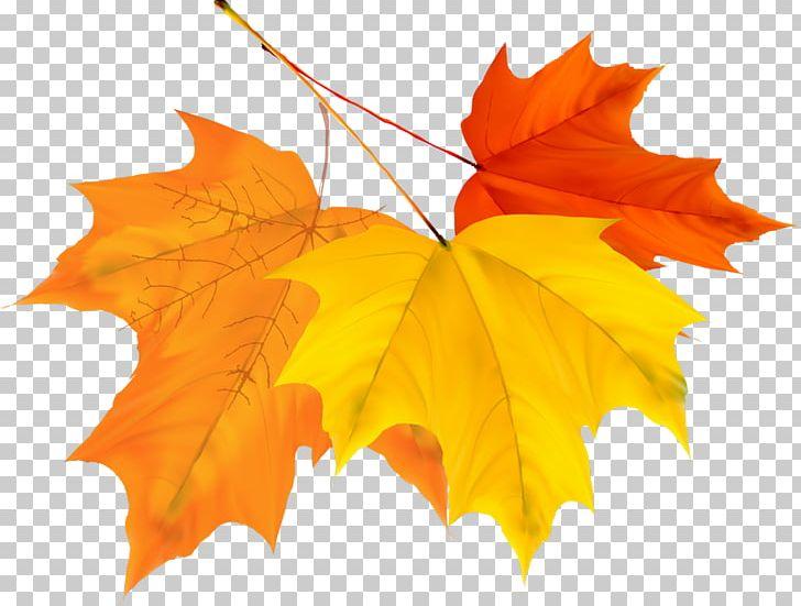 Maple Leaf Autumn PNG, Clipart, Autumn, Autumn Leaf Color, Autumn Leaves, Color, Design Vector Free PNG Download