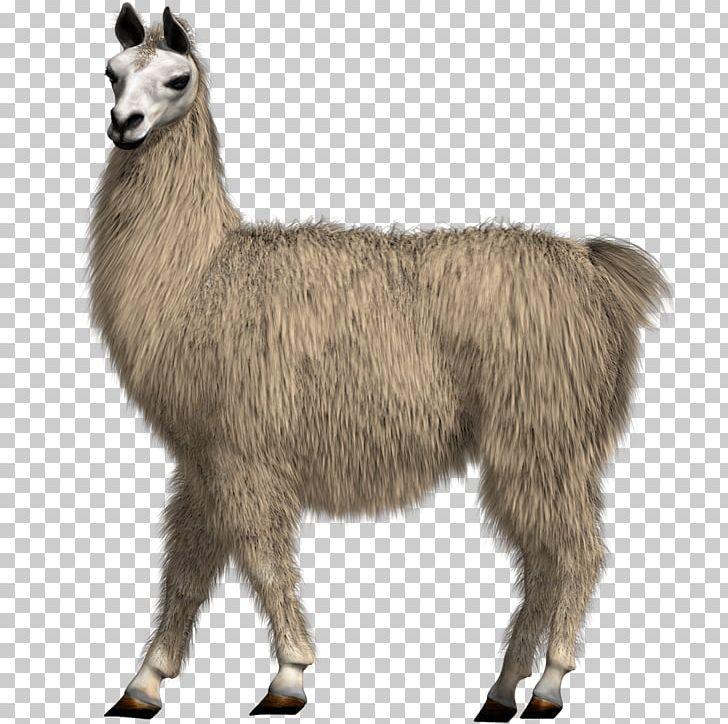 Llama Alpaca Camel Drawing PNG, Clipart, 8 P, Alpaca