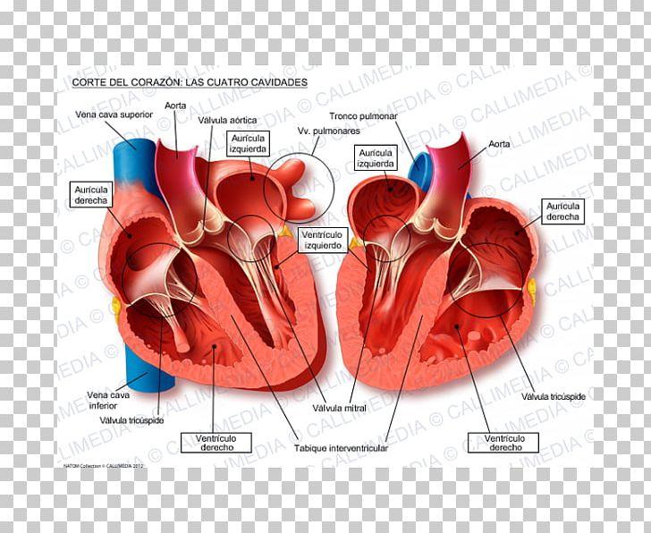 Heart Anatomy Thoracic Cavity Physiology Circulatory System