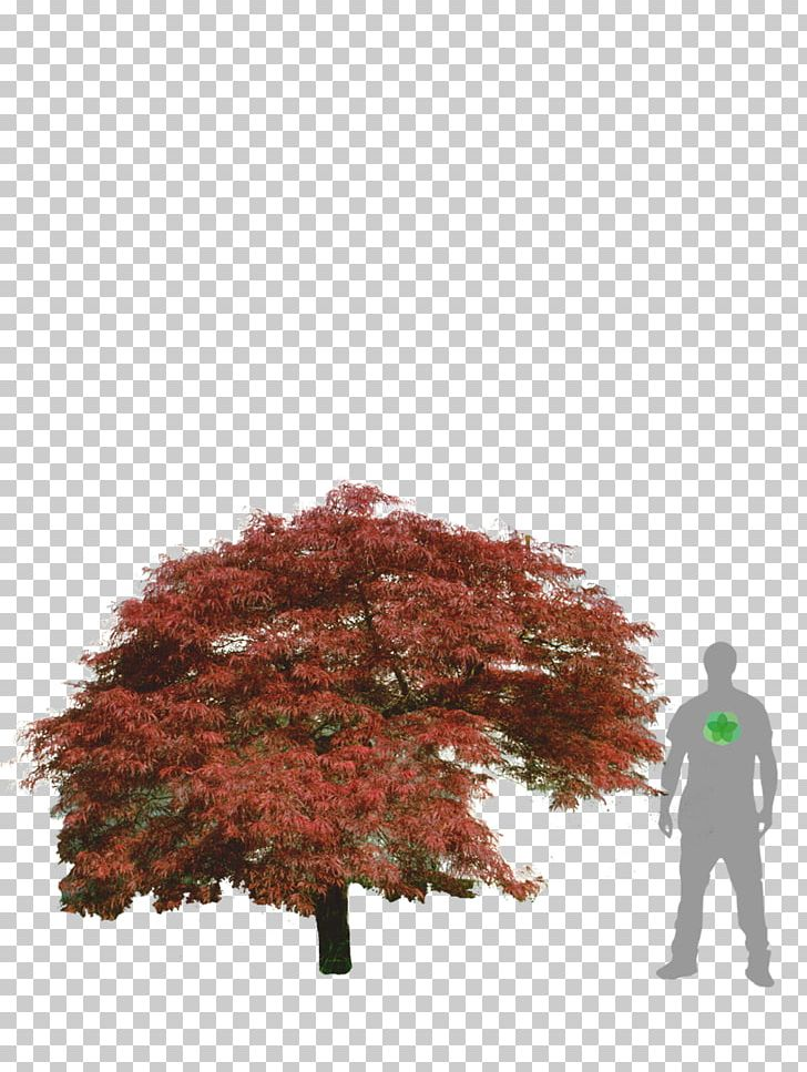 Maple Leaf Japanese Maple Acer Japonicum Acer Dissectum Tree PNG, Clipart, Acer Buergerianum, Acer Dissectum, Acer Japonicum, Autumn, Autumn Leaf Color Free PNG Download