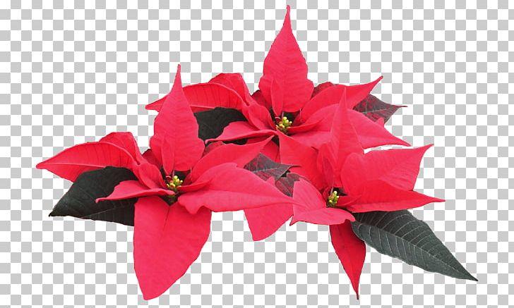 Poinsettia Plant PNG, Clipart, Cut Flowers, Download, Drawing, Feliz Navidad, Flower Free PNG Download