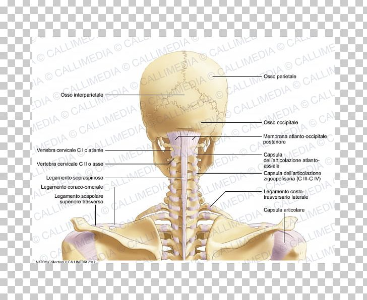 Joint Neck Anatomy Ligament Atlas PNG, Clipart, Anatomy