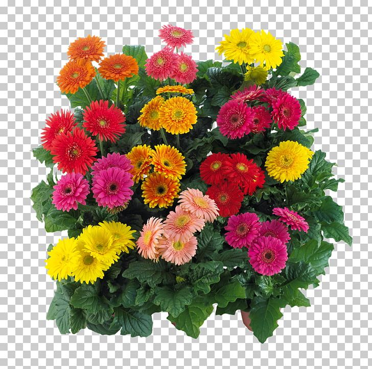 Transvaal Daisy Cut Flowers Floral Design Floristry PNG, Clipart, Annual Plant, Aster, Chrysanthemum, Chrysanths, Color Free PNG Download
