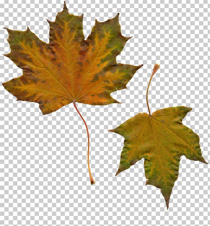 Maple Leaf Autumn PNG, Clipart, Autumn, Autumn Leaves, Deciduous, Folha, Gold Free PNG Download