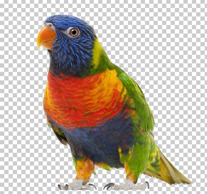 Bird True Parrot PNG, Clipart, Animals, Beak, Birds