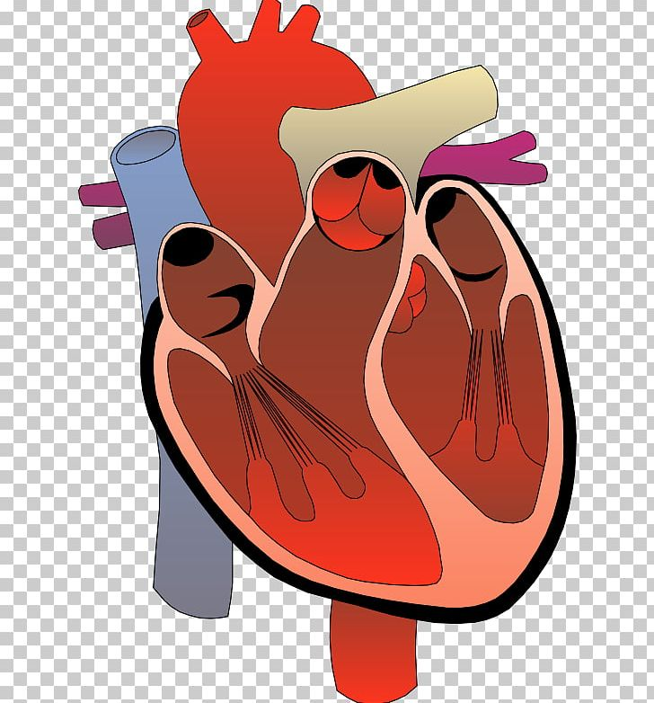 Heart Anatomy Diagram Circulatory System PNG, Clipart ...