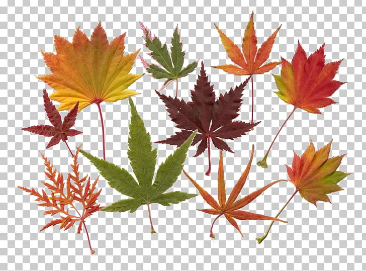 Maple Leaf Acer Japonicum Japanese Maple Red Maple PNG, Clipart, Acer Japonicum, Autumn, Flower, Flowering Plant, Green Free PNG Download