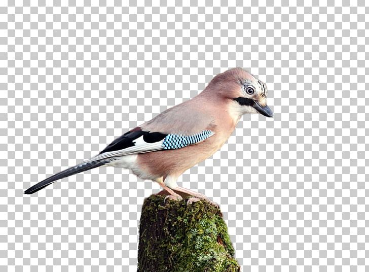 Blue Jay Finch Fauna Beak Feather PNG, Clipart, Animals, Asuka, Beak, Bird, Bird Cage Free PNG Download