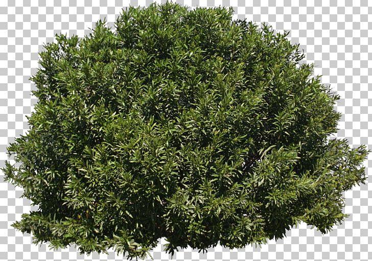 Tree Shrub Evergreen PNG, Clipart, Branch, Bushes, Data Conversion