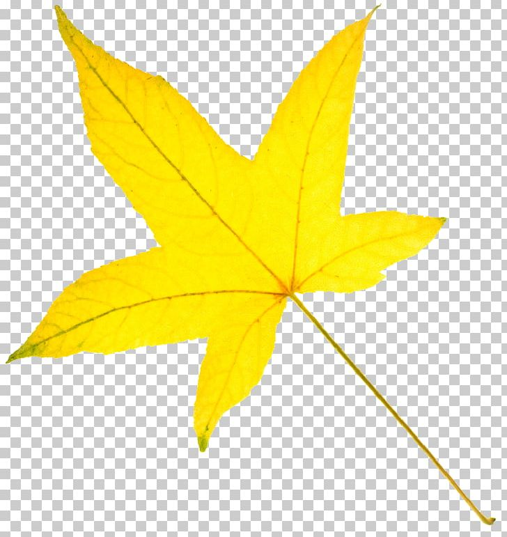 American Sweetgum Autumn Leaf Color Yellow PNG, Clipart, American Sweetgum, Autumn, Autumn In New England, Autumn Leaf Color, Color Free PNG Download