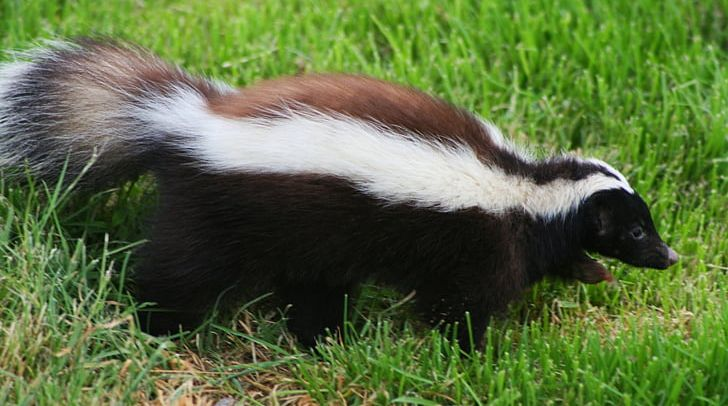 Patagonia Humboldt's Hog-nosed Skunk Musteloidea Coyote PNG, Clipart, Animals, Caniformia, Carnivora, Coyote, Eastern Spotted Skunk Free PNG Download