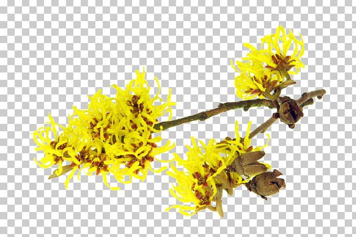 Astringent American Witch-hazel Herbal Distillate Hybrid
