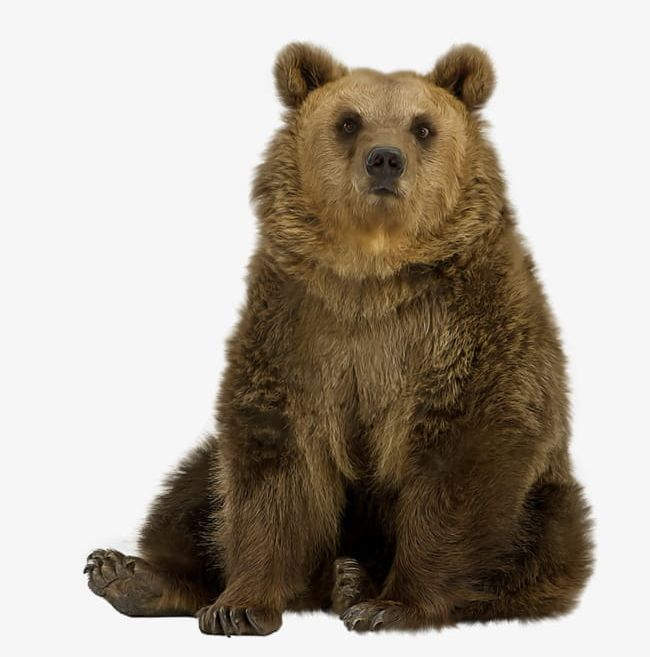 Bear sitting. Brown png clipart animal