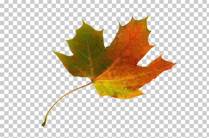 Sugar Maple Maple Leaf Japanese Maple Autumn Leaf Color PNG, Clipart, Acer Macrophyllum, Autumn, Autumn Leaf Color, Autumn Leaves, Color Free PNG Download