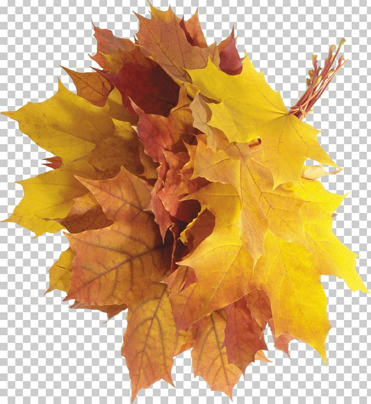 Autumn Leaf Color PNG, Clipart, Autumn, Autumn Leaf Color, Autumn Leaves, Bestoftheday, Cleaneating Free PNG Download
