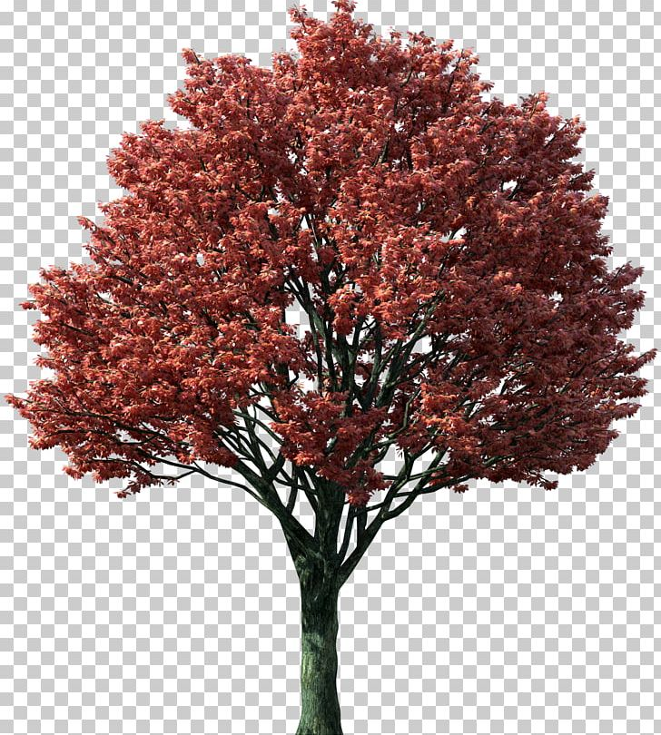 Tree Japanese Maple Red Maple Maple Leaf Autumn Leaf Color PNG, Clipart, Acer Griseum, Autumn Leaf Color, Branch, Color Red, Diagram Free PNG Download