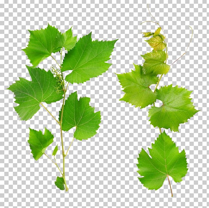 Wine Common Grape Vine Grape Leaves Leaf Png Clipart Branch Can Stock Photo Fall Leaves Fruit