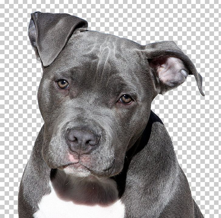 American Pit Bull Terrier American Staffordshire Terrier