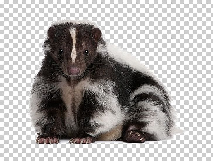 Dog Striped Skunk Eastern Spotted Skunk Pet PNG, Clipart, Animal, Animals, Background Size, Creative Commons, Dog Free PNG Download