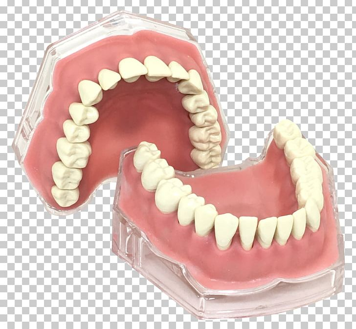 Human Tooth Typodont Gums Jaw PNG, Clipart, Australia, Bone, Dentistry, Etsy, Gift Free PNG Download