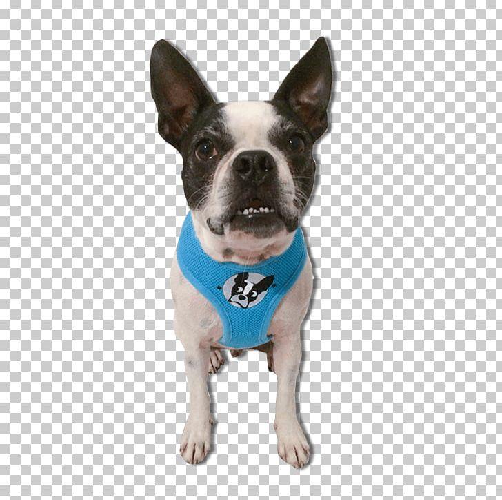 Dog Breed Boston Terrier Bull Terrier Cairn Terrier Png Clipart