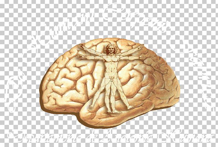 Human Brain Cerebral Cortex Anatomy Lobes Of The Brain PNG, Clipart, Anatomy, Brain, Central Sulcus, Cerebral Cortex, Cerebral Hemisphere Free PNG Download