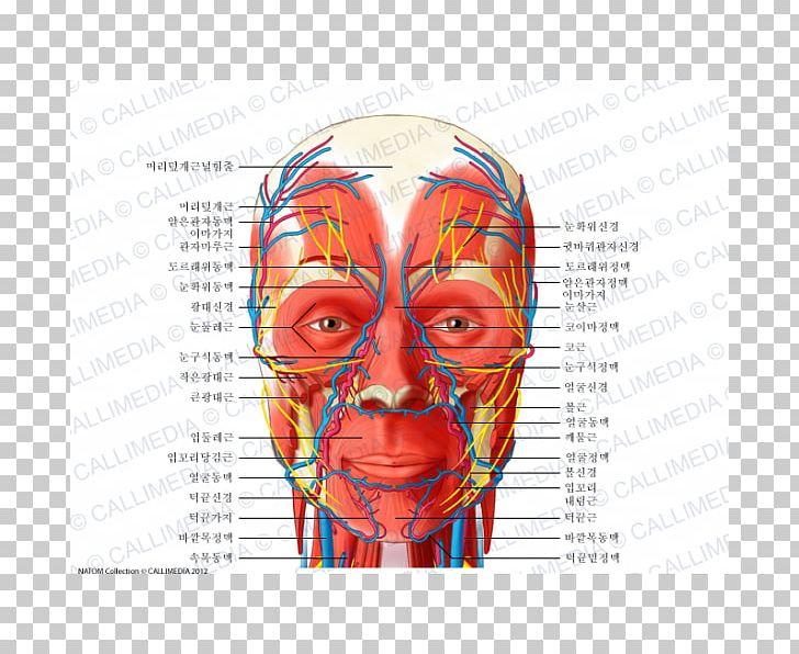 Head And Neck Anatomy Blood Vessel Nerve Human Body PNG